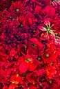 Bunch of red flowers Royalty Free Stock Photos