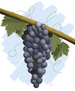 Bunch of red grapes Stock Photography