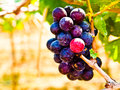 Bunch of red grapes with green leaves in wine yard in nakorn ra ratchasima thailand Stock Photos