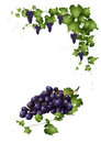 Bunch of red grapes a and vine branches Stock Image