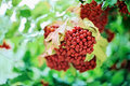 Bunch of red guelder-rose (viburnum) with drops Stock Image