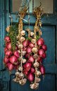 Bunch of red onions from tropea the south italy area calabria city national food onion Royalty Free Stock Images