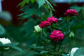 Bunch of red roses on a bush Royalty Free Stock Photo