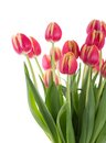Bunch of red tulips on a white background Royalty Free Stock Photo