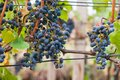 Bunch of red wine grape cabernet sauvignon in vineyard ready to harvest Stock Photos