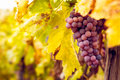 Bunch of red wine grapes big hang from a lush green vine Royalty Free Stock Images
