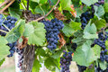 Bunch of Red Wine Grapes on a Tree at a Vineyard Royalty Free Stock Photo