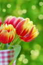 Bunch of red- yellow tulips Royalty Free Stock Photo