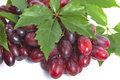 Bunch ripe, fresh red grapes with leaves. Royalty Free Stock Photo