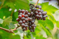 Bunch of ripe grapes BLACKOPOR on a vine in agricultural garden Royalty Free Stock Photo