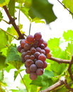 Bunch of ripe grapes ready to be plucked macro with leafy background Stock Image