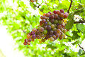 Bunch of ripe grapes ready to be plucked macro with leafy background Royalty Free Stock Photography