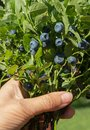 Bunch of blueberry with leaves in a hand Royalty Free Stock Photo
