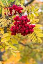 Bunch of ripe red ashberry close up on the blurred autumn background.