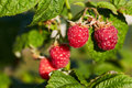 Bunch of ripe red raspberries Royalty Free Stock Photo