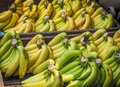Bunch of ripened organic bananas Royalty Free Stock Photo