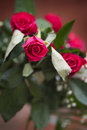 Bunch of roses pretty red Royalty Free Stock Photography