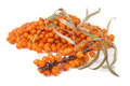 Bunch of sea buckthorn berries isolated on white background