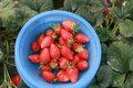 Bunch of strawberries in basket Royalty Free Stock Photo