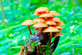 Bunch of toadstools growing on stump in the forest Royalty Free Stock Photo