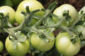 Bunch of tomatoes unripe on the branch Royalty Free Stock Photography