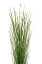 Bunch tropical grass stalks white background Royalty Free Stock Photos