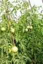 Bunch of unripe tomato plant Royalty Free Stock Photo