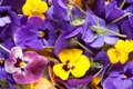 Bunch of violet eatable flowers in blue purple and yellow close up Stock Photo