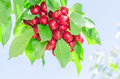 Bunch of vivid red ripe cherry berries on summer sunlit tree bra Royalty Free Stock Photo