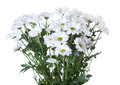 Bunch of white chrysanthemum Royalty Free Stock Photo