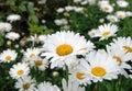 Bunch of white chrysanthemum Royalty Free Stock Photo