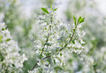 Bunch of white exochorda tianshanica flower Stock Photography