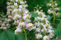 Bunch of white flowers of the horse-chestnut tree Royalty Free Stock Photo