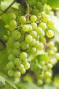 Bunch of white grapes Royalty Free Stock Photo