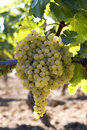 Bunch of white grapes on vine Stock Images