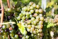 Bunch of white grapes in the vineyard Royalty Free Stock Photo
