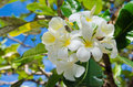 Bunch of white yellow flowers on the tree at Maldives Royalty Free Stock Photo