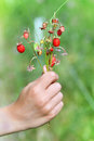 A bunch of wild strawberry Royalty Free Stock Photo