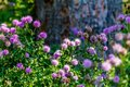 Bunch of wild Thistles flowers Royalty Free Stock Photo