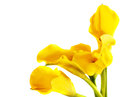Bunch of yellow cala lilies Royalty Free Stock Image