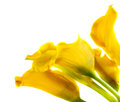 Bunch of yellow cala lilies Royalty Free Stock Photo