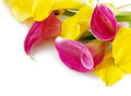 Bunch of yellow and pink cala lilies Royalty Free Stock Image