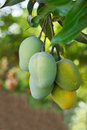 Bunch of yellow ripe and green mango on tree in garden selective focus Stock Image