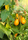 Bunch of yellow tomatoes Royalty Free Stock Photo