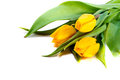 Bunch of yellow tulips Royalty Free Stock Photo