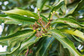 Bunch of young green mango and flowers on tree in garden selective focus Stock Images