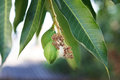 Bunch of young green mango on tree in garden with light background selective focus Stock Image