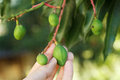 Bunch of young green mango on tree in hand in garden selective focus Stock Photos