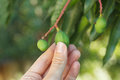 Bunch of young green mango on tree in hand in garden selective focus copy space Royalty Free Stock Photos