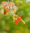 Bunches berries viburnum opulus Royalty Free Stock Photography